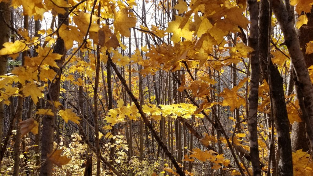 November in Wisconsin forests is often colorful. Wodded trails with golden and yellow leaves everywhere.